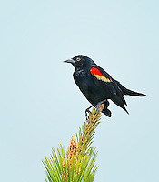 Male Red-winged Blackbird perched on top of a pine tree