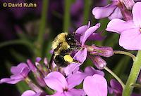 "0108-0906  Bumble Bee Pollinating Dames Rocket, Bombus spp. ""Virginia"" © David Kuhn/Dwight Kuhn Photography"