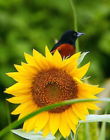 Adult male orchard oriole on sunflower