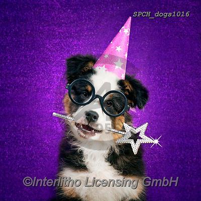 Xavier, ANIMALS, REALISTISCHE TIERE, ANIMALES REALISTICOS, dogs, photos+++++,SPCHDOGS1016,#a#, EVERYDAY