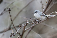 Black-capped Gnatcatcher (Polioptila nigriceps restricta), male molting into breeding plumage foraging at Patagonia Lake State Park, Nogales, Arizona.