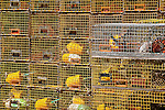 Yellow lobster traps in the fishing village of Winter Harbor, Gouldsboro, ME, USA