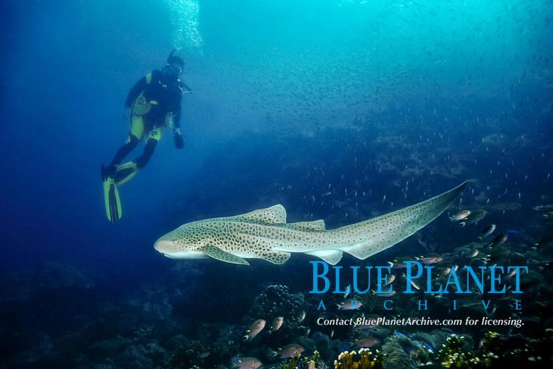 Zebra shark, Stegostoma fasciatum, and diver, Phuket, Thailand, Indian Ocean