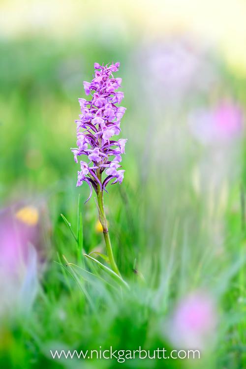 Mature broad-leaved marsh orchid<br /> (Dactylorhiza majalis) flowering in ancient alpine meadow. Nordtirol, Austrian Alps. June.