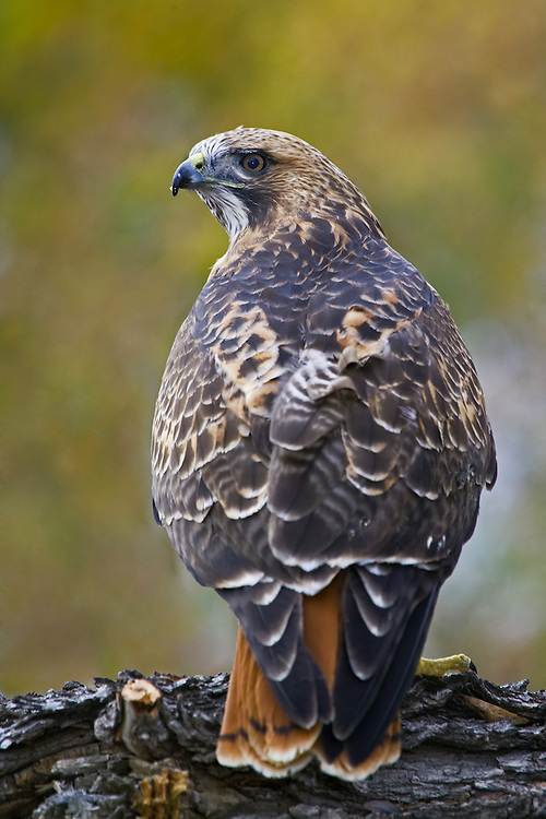 Red-tailed Hawk standing on a branch