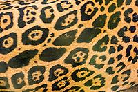 jaguar, Panthera onca, fur, Costa Rica