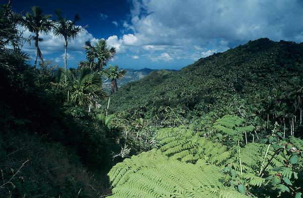 Rainforest, Tree fern,View from Ruta Panoramica, Cordillera Central, Puerto Rico, USA