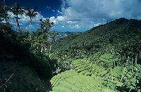 Rainforest, Tree fern,View from Ruta Panoramica, Cordillera Central, Puerto Rico, USA