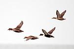 Common eiders flying left, South beach, Chatham, Massachusetts