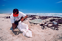 biologist recovers eggs from nest of Kemp's ridley sea turtle, Lepidochelys kempii, for transfer to protected corral, Rancho Nuevo, Mexico, Gulf of Mexico, Caribbean Sea, Atlantic Ocean
