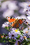 The European Peacock (Aglais io), commonly known as the Peacock butterfly | Tagpfauenauge (Inachis io) aus der Familie der Edelfalter (Nymphalidae)