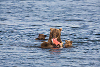 Sow brown bear shares red salmon with her spring cubs in the Brooks River, Katmai National Park, Alaska.