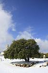 T-027 Kermes Oak in Gush Etzion