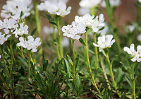 White wildflowers in spring, at the Great Smoky mountains national park, USA - Free Nature Stock Image.