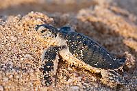 green sea turtle, Chelonia mydas, hatchling, crawling toward ocean on the beach after birth, Ras al-Jinz Turtle Reserve, Ras al-Jinz, Oman, Arabian Peninsula, Middle East, Indian Ocean
