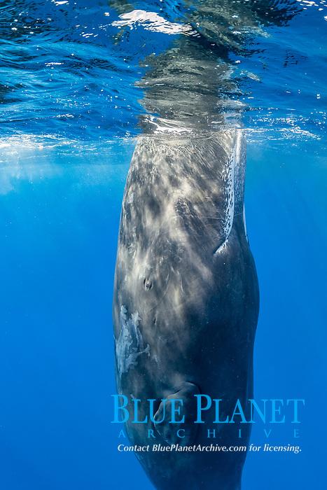 sperm whale, Physeter macrocephalus, spyhopping, Dominica, Caribbean Sea, Atlantic Ocean, photo taken under permit n°RP 17-01/02 FIS-4.