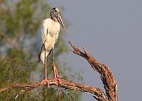 Adult wood stork