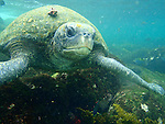 A portrait of a Pacific green sea turtle swimming in the ocean off the Galapagos Islands, Ecuador.