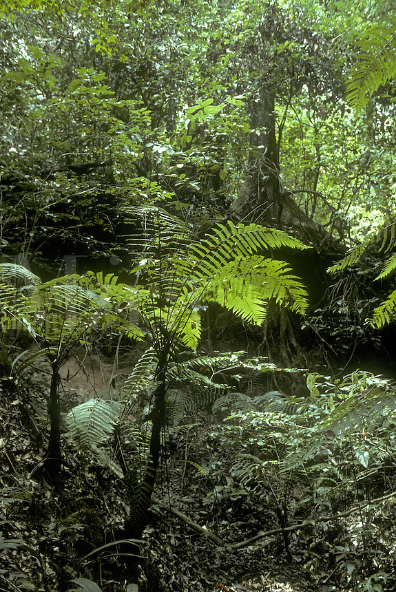 Africa, Ivory Coast, rainforest in Tai National Park. Tree fern in gully is Cyathea camerooniana.