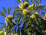 Italien, Latium, Esskastanien | Italy, Lazio, chestnut tree