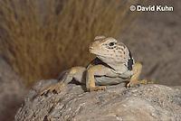 0612-1016  Great Basin Collared Lizard (Mojave Black-collared Lizard), Mojave Desert, Crotaphytus bicinctores  © David Kuhn/Dwight Kuhn Photography