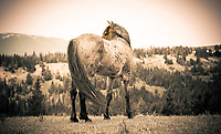 Having just chased off an intruding Mustang this one looks back to make sure he's gone. <br />