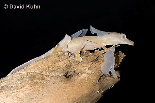 0104-0903  Lined Leaf-tailed Gecko Molting (Shedding Old Skin), Uroplatus lineatus © David Kuhn/Dwight Kuhn Photography
