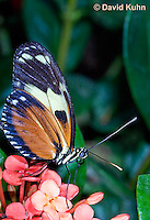 0419-1107  Heliconius Butterfly, Heliconius spp.  © David Kuhn/Dwight Kuhn Photography