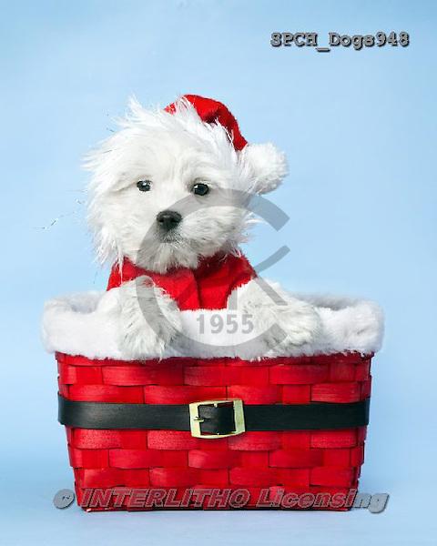 Xavier, CHRISTMAS ANIMALS, WEIHNACHTEN TIERE, NAVIDAD ANIMALES, photos+++++,SPCHDOGS948,#xa#