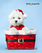 Xavier, CHRISTMAS ANIMALS, WEIHNACHTEN TIERE, NAVIDAD ANIMALES, photos+++++,SPCHDOGS948,#xa#