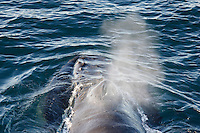 Megaptera novaeangliae Humpback whale surfacing and spouting whilst feeding Spitzbergen Arctic Norway North Atlantic