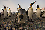 Inquisitive king penguins at St. Andrews Bay on South Georgia.