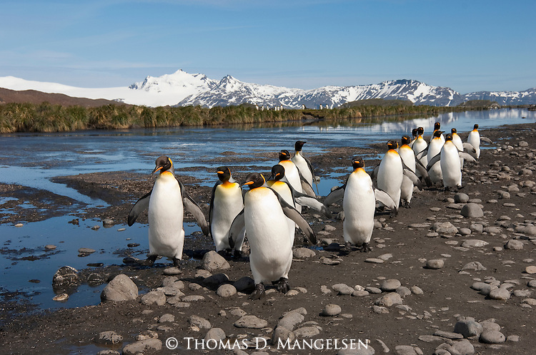 A group of king penguins walk on a rocky shore on Salisbury Plain in South Georgia.