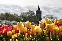 Nederland Limmen - 2018. Tulpen in Limmen. De Protestantse (Hervormde) kerk.  Foto Berlinda van Dam / Hollandse Hoogte