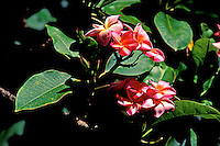 Pretty clusters of fragrant pink plumeria flowers bloom from a tree.