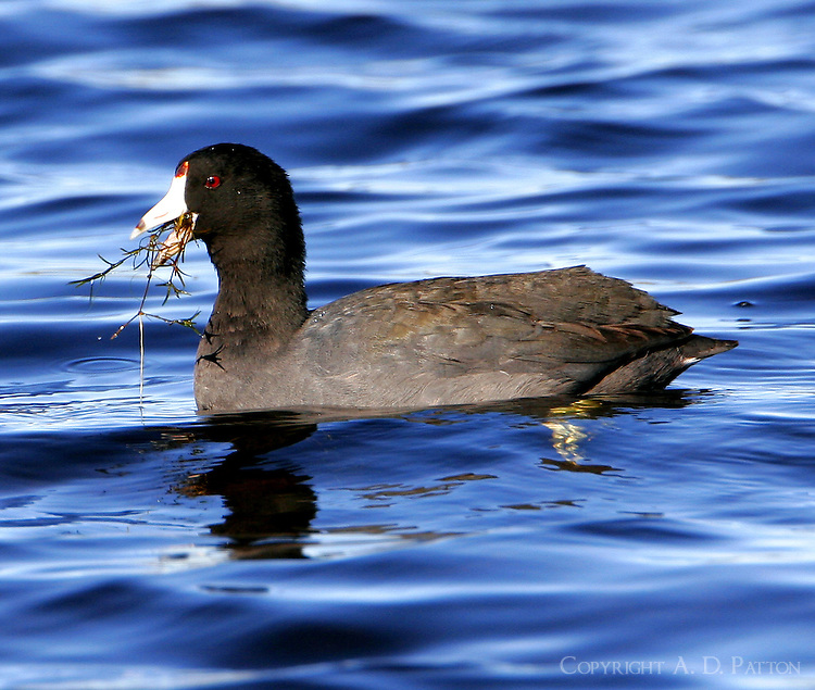 American coot feeding on water plant