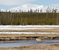 A coyote crosses the Gibbon River.