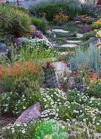 Claret-cup cactus, Echinocereus triglochidiatus with Penstemon pinniflorus and white flowering Melampodium leucanthemum (Black Foot Daisy) by path in David Salman New Mexico xeric rock garden