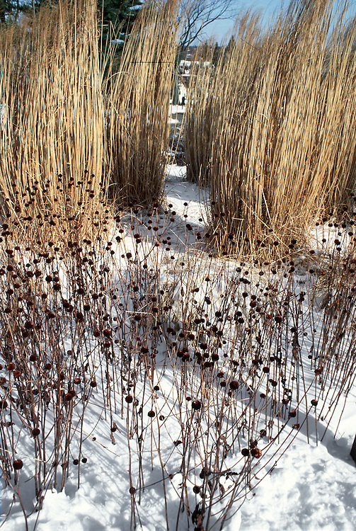 Seedheads of Echinacea coneflowers with tall brown ornamental grass in winter snow, blue sky, browns, beiges, white to attract birds