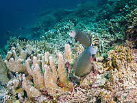 rockmover wrasse, dragon wrasse, or reindeer wrasse, Novaculichthys taeniourus, adult, mating pair, Cocos Island, Costa Rica, Pacific Ocean