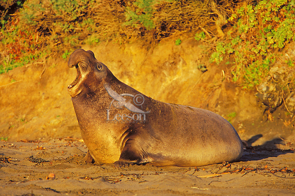 Northern Elephant Seal (Mirounga angustirostris) bull bellowing--dominance behavior--trying to scare other bulls off his share of beach during winter mating season. CA.  December.