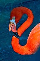 Animal. Aves. Flamingos (Phoenicopterus chilensis). SP. Foto de Juca Martins.