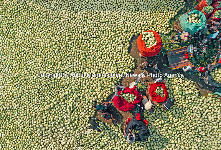 Pictured: The cauliflowers<br /> <br /> Aerial shots show millions of cauliflowers and white radishes arranged at a market.  The market covers an area of around 2km, where the vegetables are sold and packed into jute sacks ready for transportation.<br /> <br /> The produce is grown all over northern Bangladesh, and the pictures were taken in Shibganj, in the Upazila district of the country.  SEE OUR COPY FOR DETAILS.<br /> <br /> Please byline: Abdul Momin/Solent News<br /> <br /> © Abdul Momin/Solent News & Photo Agency<br /> UK +44 (0) 2380 458800