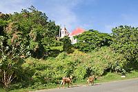 Local goats walking the streets near the Moravian Church<br /> Coral Bay, St. John<br /> U.S. Virgin Islands