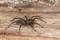 Dunkle Wolfspinne, Wolfsspinne, Pardosa amentata, Spotted Wolf spider, Wolfspinnen, Wolfsspinnen, Lycosidae, wolf spiders, ground spiders