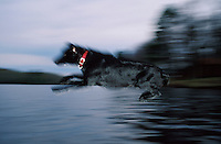 Blurred motion image of a Black Labrador dog leaping into water.