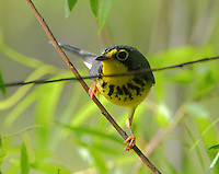 Adult male Canada warbler in breeding plumage