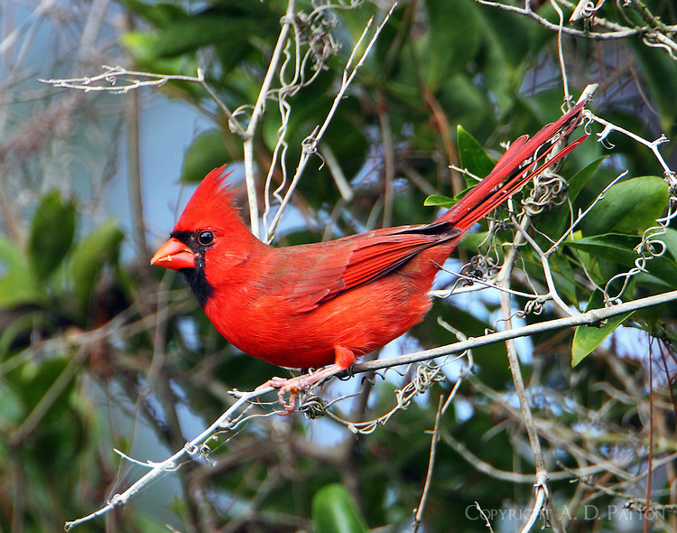 Adult male northern cardinal