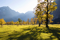 autumncolors in the mountains, Sycamore Maples, Acer pseudoplatanus, Alps, Austria, Europe