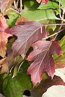 Hydrangea quercifolia in autumn color Oakleaf Hydrangea